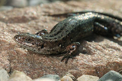 Brown lizard Royalty Free Stock Photos