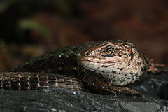 Brown lizard Stock Image
