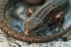 Brown lizard Stock Photos
