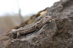 Brown lizard on a rock stock images