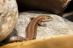 Brown lizard on rocks. Looking around stock images
