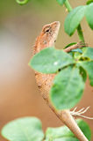 A brown lizard on the rose tree branch Royalty Free Stock Photo