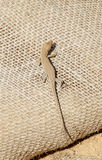 Brown. Lizard on a sac filled with sand Royalty Free Stock Photo