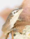 Brown lizard shedding Stock Photography