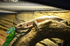 A brown lizard sits on a branch in a terrarium, sunbathes and observes royalty free stock image
