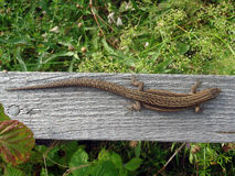 Brown lizard Royalty Free Stock Images