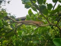 Brown lizard stay on lime tree. Animal in the wild stock photo