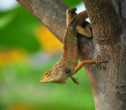 Brown lizard stick on tree. Brown lizard stick on tree,his head looked a bit Royalty Free Stock Photos