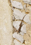 Brown Lizard on a Stone Wall Royalty Free Stock Photos