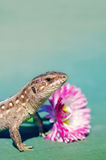 Brown Lizard of t pink flower. Stock Photography