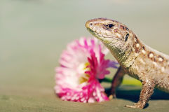 Brown Lizard of t pink flower. Royalty Free Stock Photos