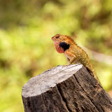 Brown lizard Stock Photos