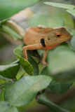 Brown lizard,tree lizard,. Details of lizard skin stick on the tree Royalty Free Stock Photos