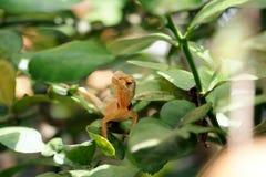Brown lizard,tree lizard,. Details of lizard skin stick on the tree Royalty Free Stock Photo