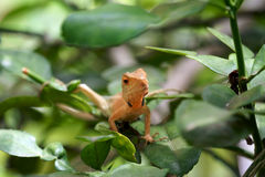 Brown lizard,tree lizard,. Details of lizard skin stick on the tree Royalty Free Stock Images