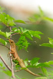 Brown Lizard. On the tree at the park Royalty Free Stock Photos