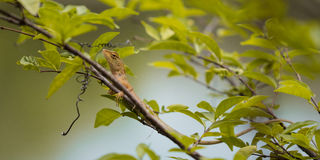 Brown Lizard. On the tree at the park Stock Photos