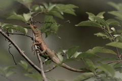 Brown Lizard. On the tree at the park Royalty Free Stock Image
