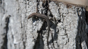 Brown lizard on the tree Stock Photo