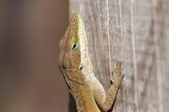 Brown Lizard Royalty Free Stock Image