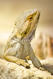 Brown lizzard obrazy royalty free