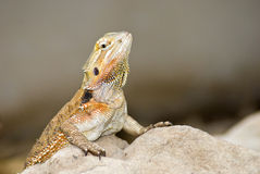Brown lizzard Stock Images