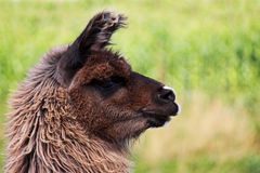 Brown Llama. A portrait of a brown llama standing out in a field Stock Photo