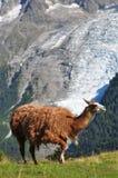 Brown llama Stock Photos