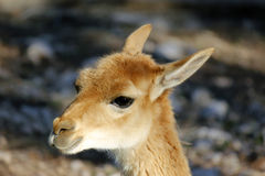 Brown llama Royalty Free Stock Image