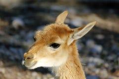 Brown llama. Portrait of a  brown Llama Royalty Free Stock Image