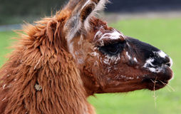Brown Llama / Alpaca Stock Image