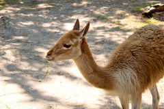 Brown llama chewing grass Royalty Free Stock Images
