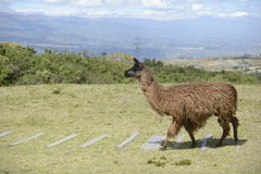 Brown llama on the field. Brown llama on the boundless Ecuadorian field stock photo
