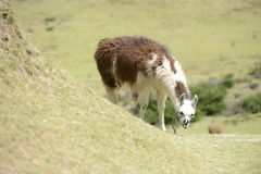 Brown llama on the field. Llama and Latin American picturesque mountain view Stock Image