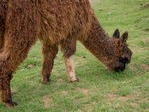 A brown llama grazing stock photo
