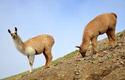 Brown llama lama glama. Mammal living in the South American Andes royalty free stock image