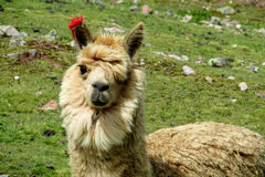 Brown llama portrait royalty free stock images