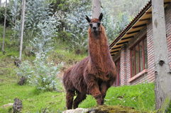 Brown Llama standing in a Eucalyptus grove. A mature brown, wild Llama high in the Andes mountains of Ecuador Stock Images