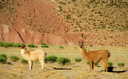 Brown llamas in the Andes altiplano stock photo