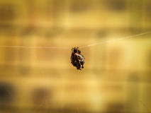 Brown-Lobed Spider Stock Images