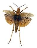 Brown Locust Stock Images