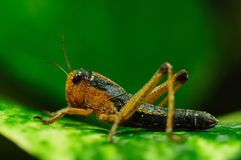 Brown Locust (Locustana Pardalina) Stock Images