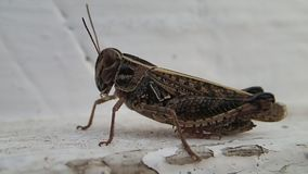 Locust moving out of the picture stock footage