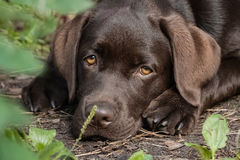 Brown lonely labrador puppy. Brown lonely labrador retriever puppy lying on thr ground. Looking at camera stock photography