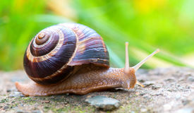 Brown long big snail round shell with stripes and with long horns crawling on the edge of stone Royalty Free Stock Image
