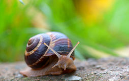 Brown long big snail round shell with stripes and with long horns crawling on the edge of stone Stock Image