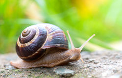 Brown long big snail round shell with stripes and with long horns crawling on the edge of stone Royalty Free Stock Images
