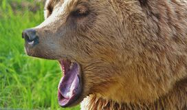 Brown Long Coated Animal Yawning stock images
