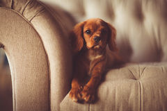 Brown Long Coated Dog Lying on White Fabric Sofa Royalty Free Stock Photography