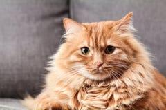 Brown Long Coated Fur Cat Royalty Free Stock Photo